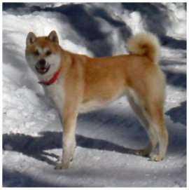Akita Inu, chien de race du Japon