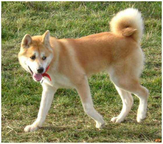 Photos, chien, nordique