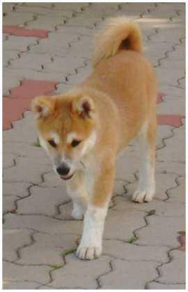 Photos du chien Japonais de race Akita Inu au comportement