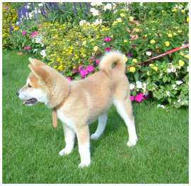 Chien, Chios, Race, Akita Inu